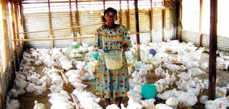 Du poulet en quantité attendu dans les marchés bientôt.