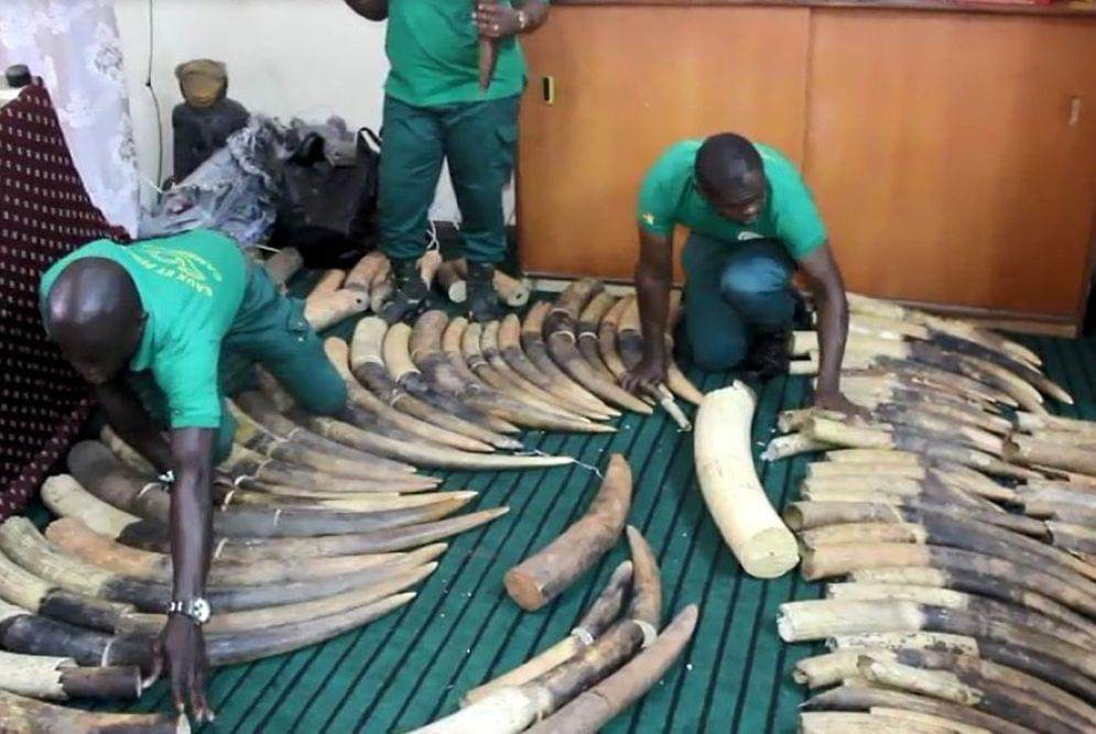 The illegal trade in ivory is undertaken by organised criminal gangs in connivance with highly placed officials.
