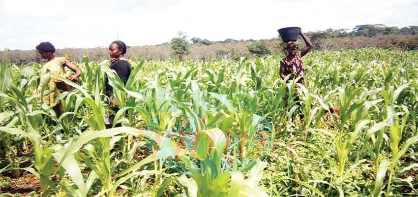 Campagne agricole en zone méridionale  : les semences de maïs et de manioc disponibles