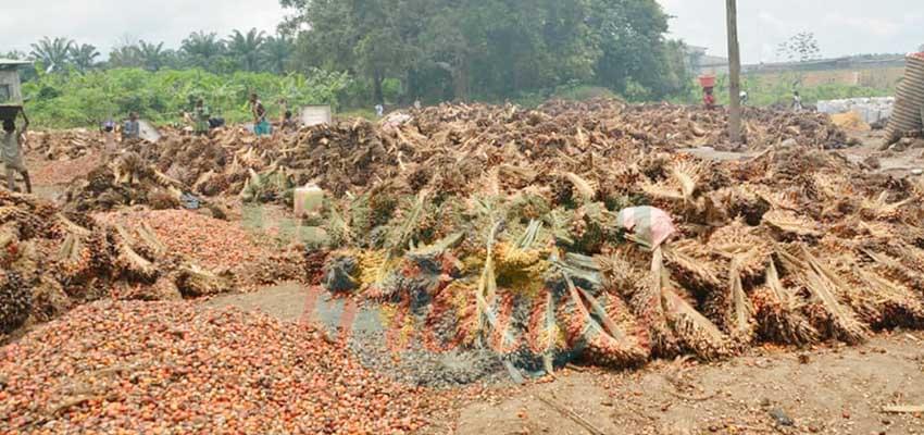 - La Rspo, l'espoir d'une production certifiée de l'huile de palme.