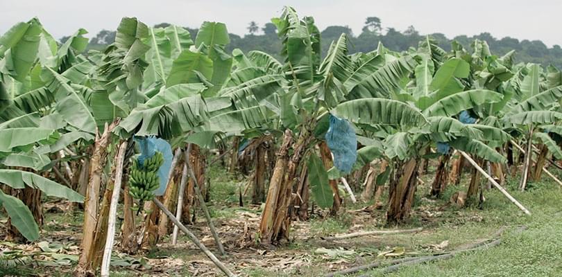 Banane: les exportations en baisse au troisième trimestre