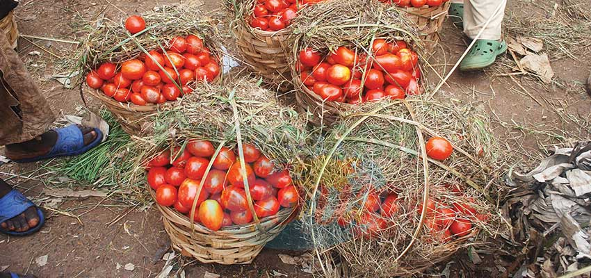 Tomate : six mois pour sauver la filière