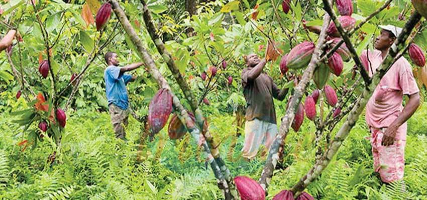 Lutter contre le coxage pour un cacao de meilleure qualité.