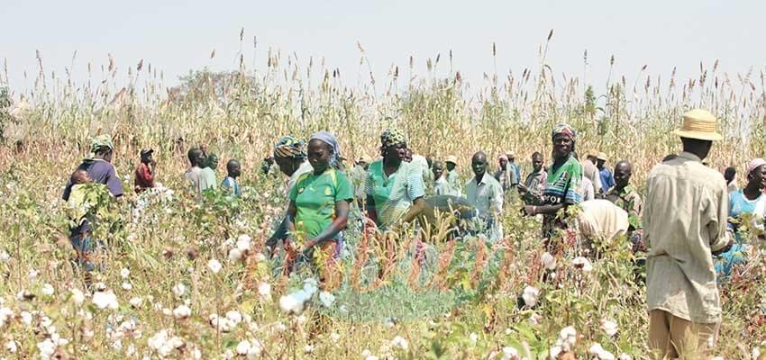 Cotton Development : Gov't Secures FCFA 21 Billion Loan