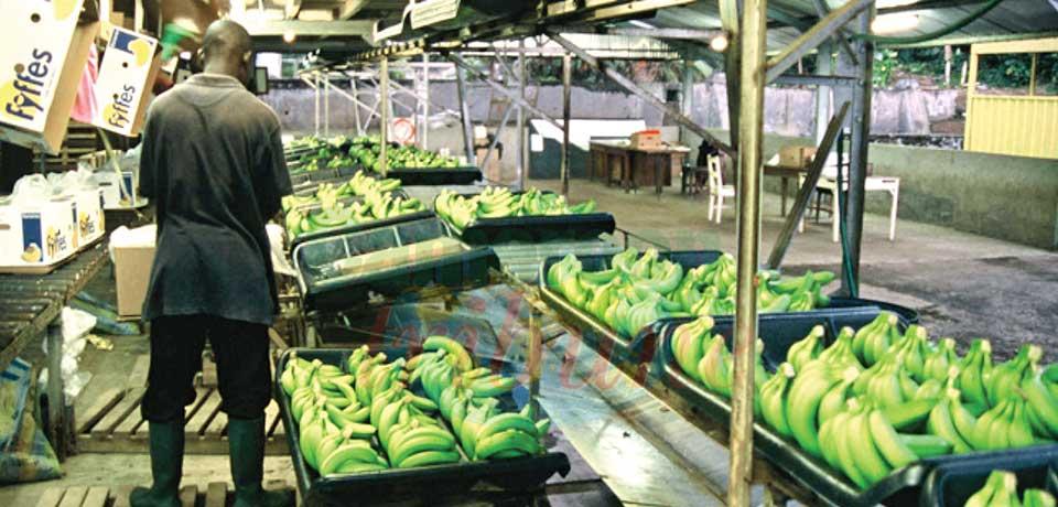 Bananes : plus de 100000 tonnes exportées entre janvier et juillet