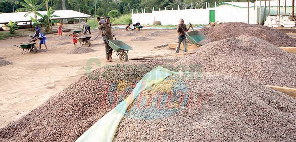 Cacao : la fève camerounaise a la cote