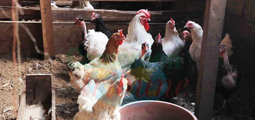 Croisement de poulets : la technique se vulgarise