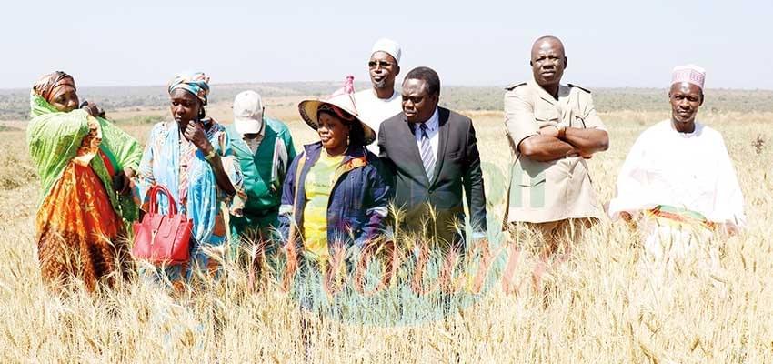 Culture du blé et de l'anacarde: l'Adamaoua, première de la classe