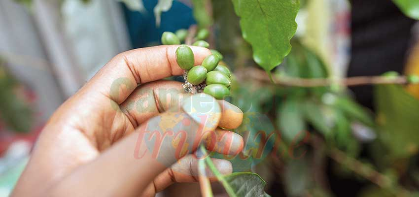 Production is declining partly because the farming population and coffee trees are old.