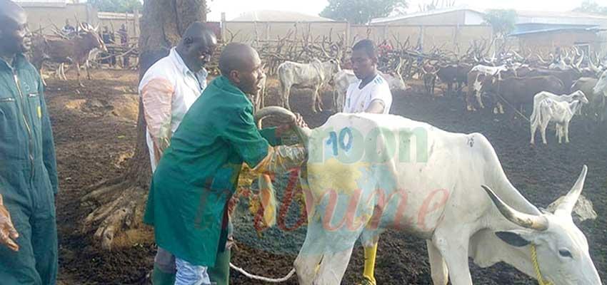 Insémination artificielle des vaches : une technique efficiente