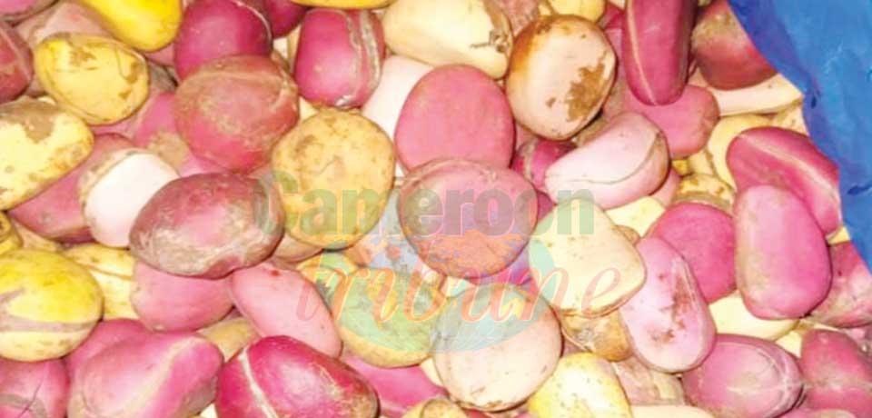 Kola : la noix aux multiples vertus