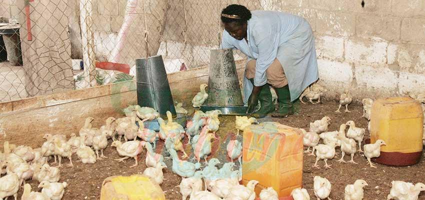 Alerte à la grippe aviaire : le Cameroun prend ses dispositions