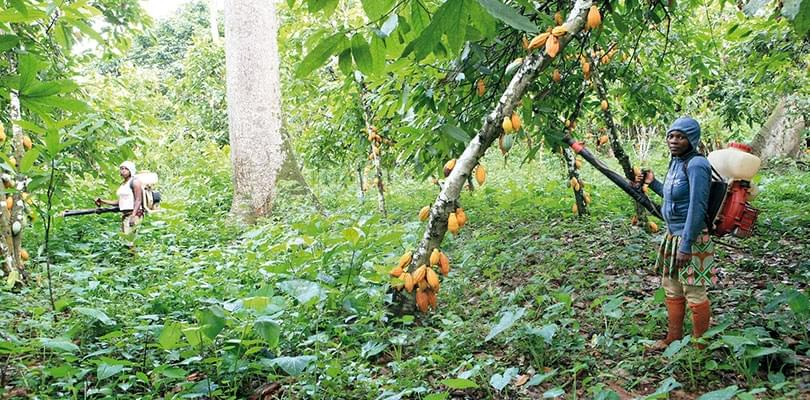 Image : Promoting Cocoa Trade: Gov't To Award Bonuses To Local Producers
