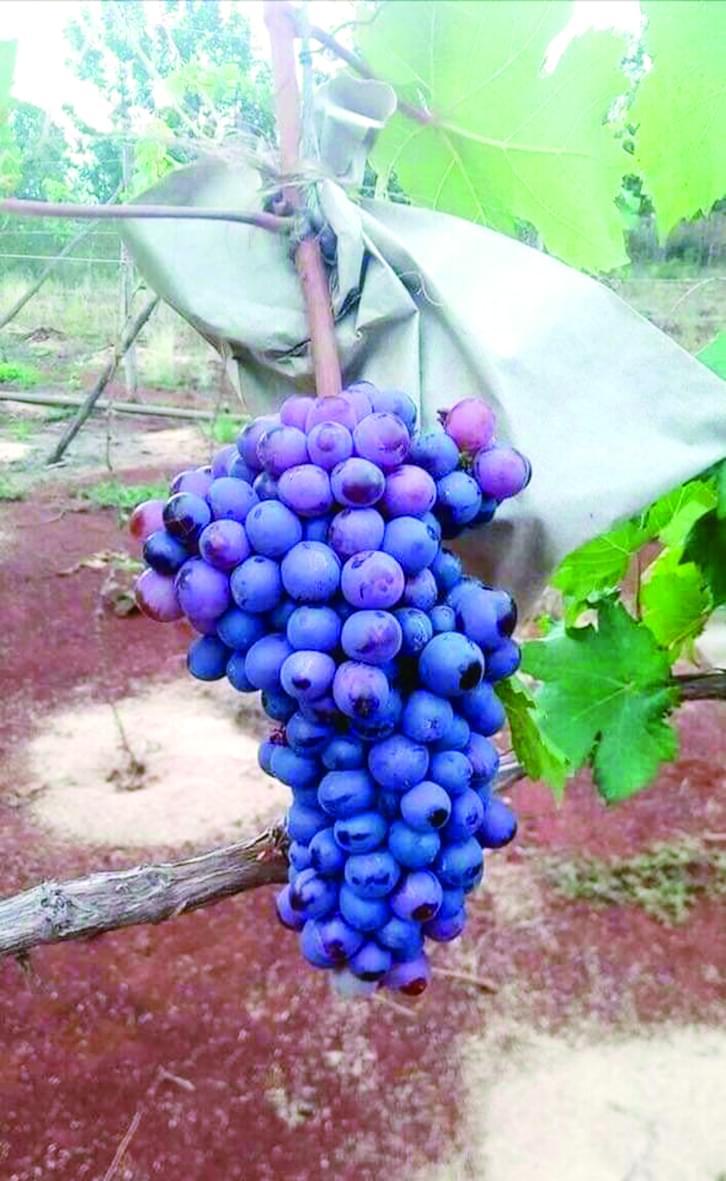 La culture du raisin promet au Cameroun.
