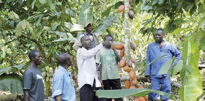 Image : Cacaoculture: l'information en un clic