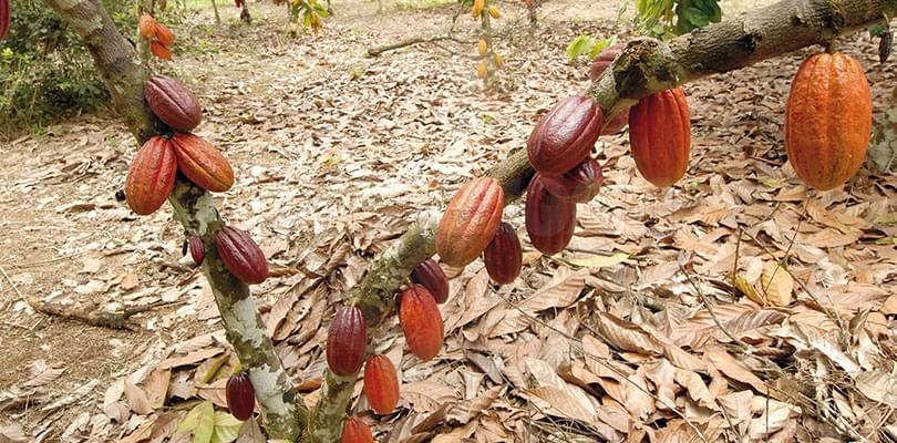 Image : La note des connaisseurs: cacao camerounais