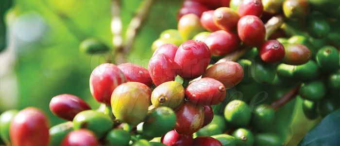 Image : Coffee Sector: Gov't's Recent Effort Yielding Fruits