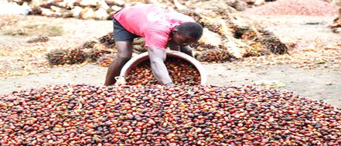 Image : Oil Palm Farming: Towards Greater Production in Cameroon